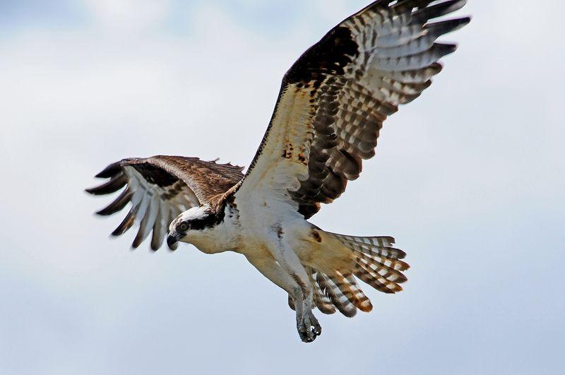 Osprey Washington State Animals Beautiful All Gods Creatures Bald Eagle