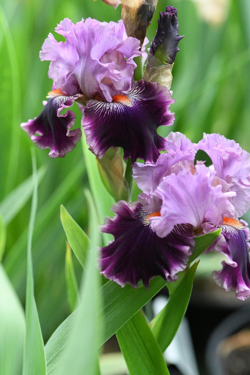 Irises Plant Care And Collection Of Varieties Garden Org Iris Flowers Purple Flowers Garden Flowers Perennials