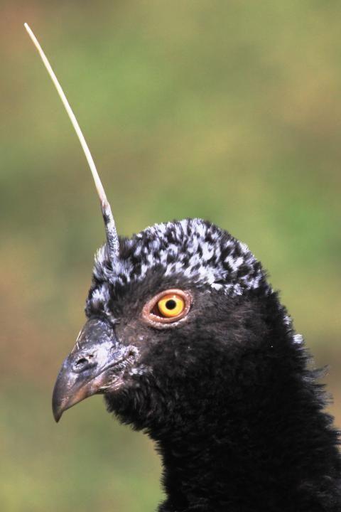 Horned Screamer (Anhima cornuta)