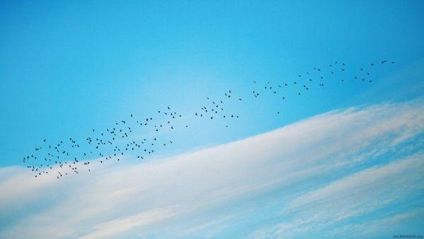 صورة سرب من الطيور في السماء الزرقاء Photo Max صور ماكس Sky R Wallpaper Wallpaper
