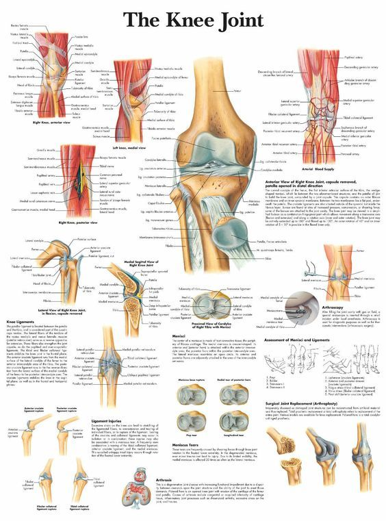 A3 Medical Poster The Knee Joint (Text Book Anatomy Picture ...