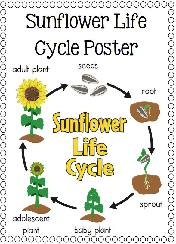 Life Cycles Sunflower Life Cycle Life Cycles Preschool Science