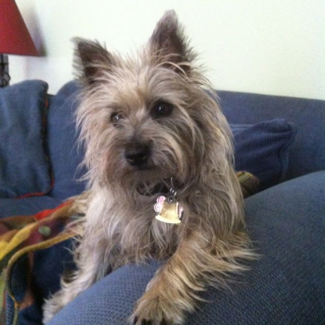 Cairns Are Curious And Loving Cairn Terrier Norfolk Terrier