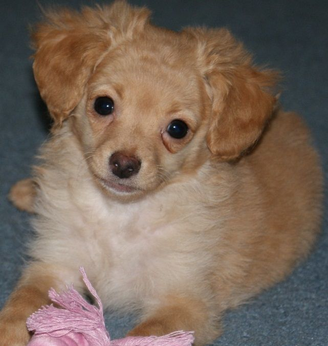 ChiPoo (ChihuahuaPoodle Mix) Info, Puppies, Temperament