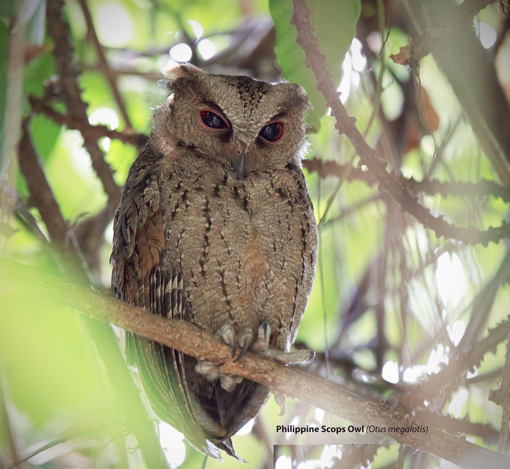 2182.  Philippine Scops-owl (Otus megalotis) | endemic to the Philippines