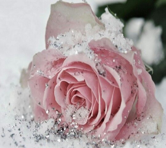 Pink Rose With Snow Silver Glitter