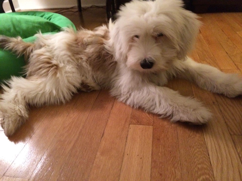 Tibetan Terrier Puppies For Sale Minneapolis MN Terrier
