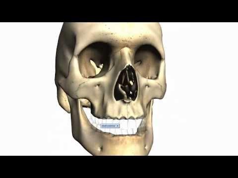 Anatomy Of The Head Neck Skull Facial Bones 02 3d Anatomy