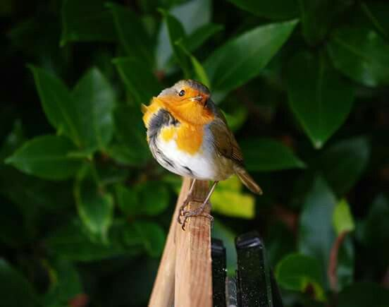 Another lovely wee Robin. .