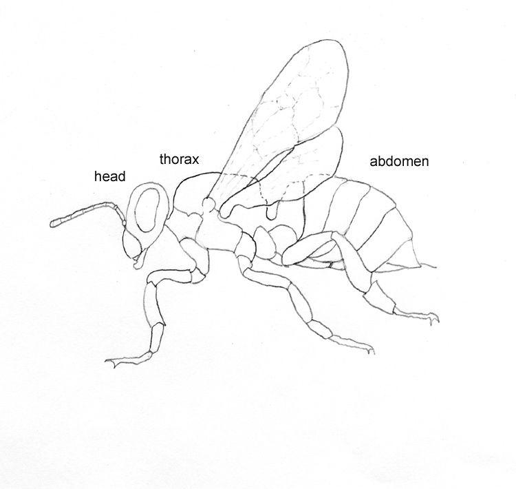 Illustration Of Bee Anatomy