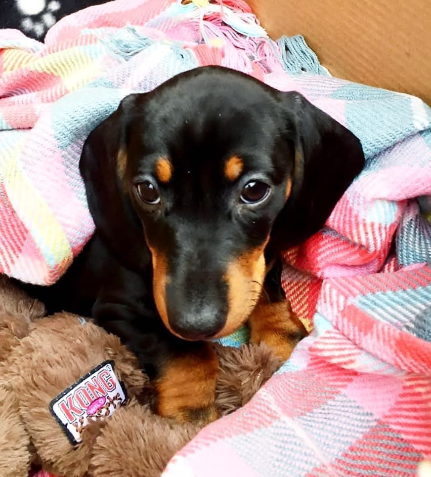 Happy Gotcha Day To Me Two Years Ago I Made The Journey From South East To West London On A Bus Overground Baby Dachshund Dachshund Love Cute Puppy Pictures