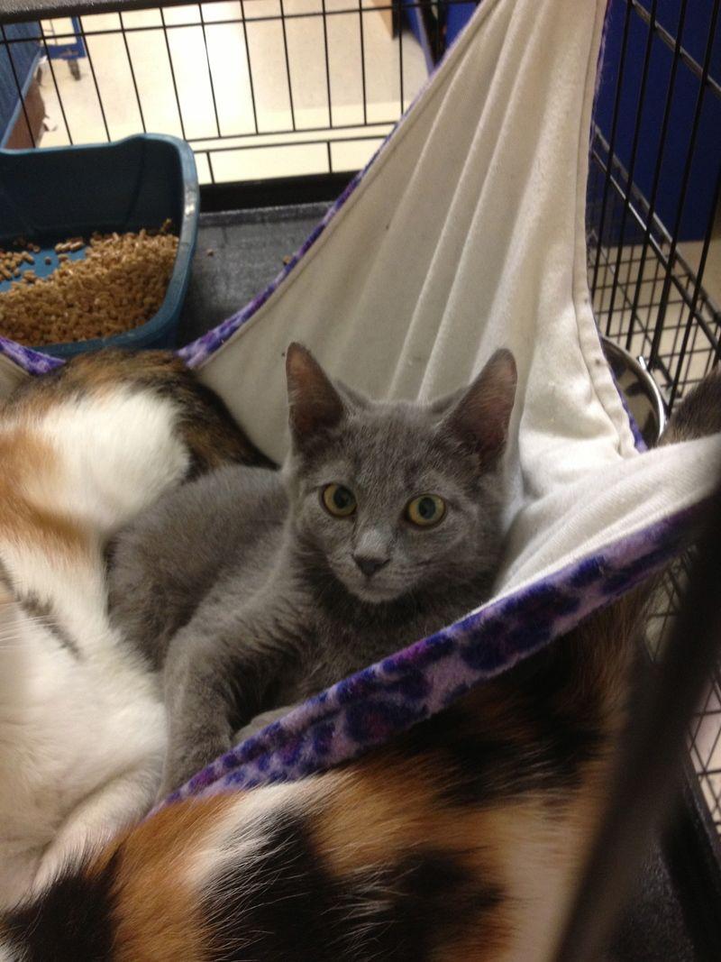 Adopt Adam on Adoption, Russian blue, Kittens