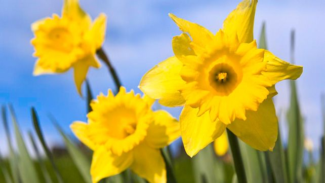 Easter Is Here And Some Moneystories National Flower Of Wales Saint David S Day Daffodils