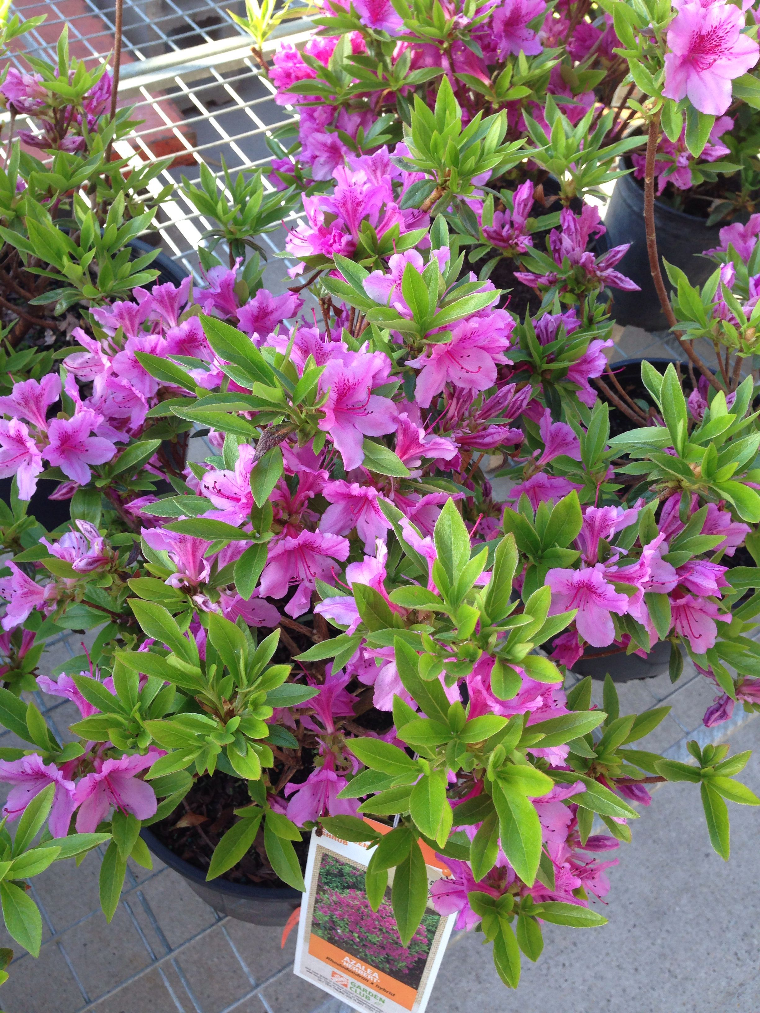 Azalea 'Herbert' Bloom where youre planted, Chives plant