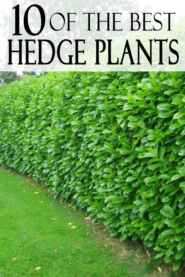 Hedge Bushes: Top 12 Best Hedge Plants...by Zone