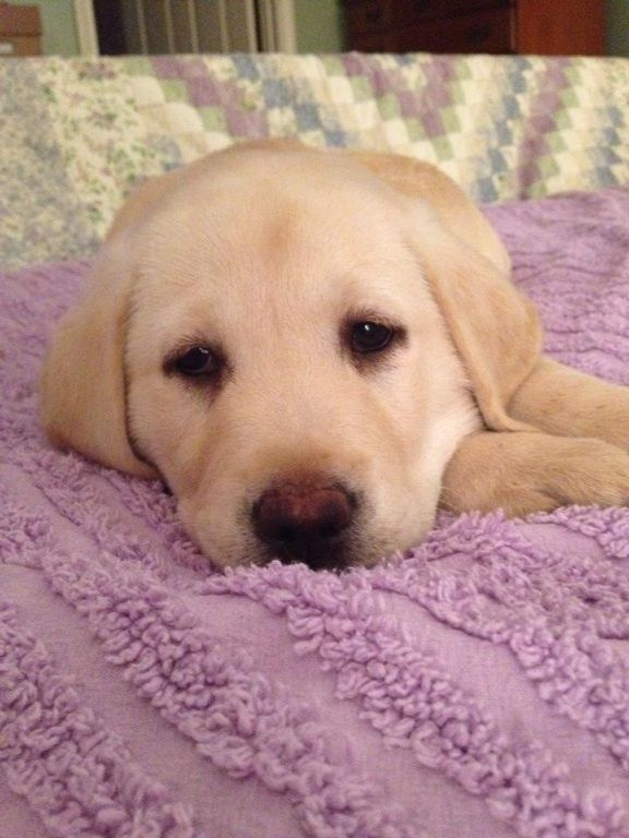 Beretta....adorable Yellow Lab puppy