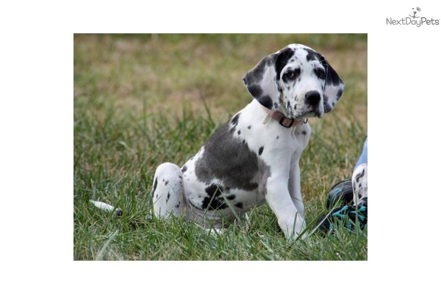 Harlequin Great Dane Puppies 100 European Akc Harlequin Female