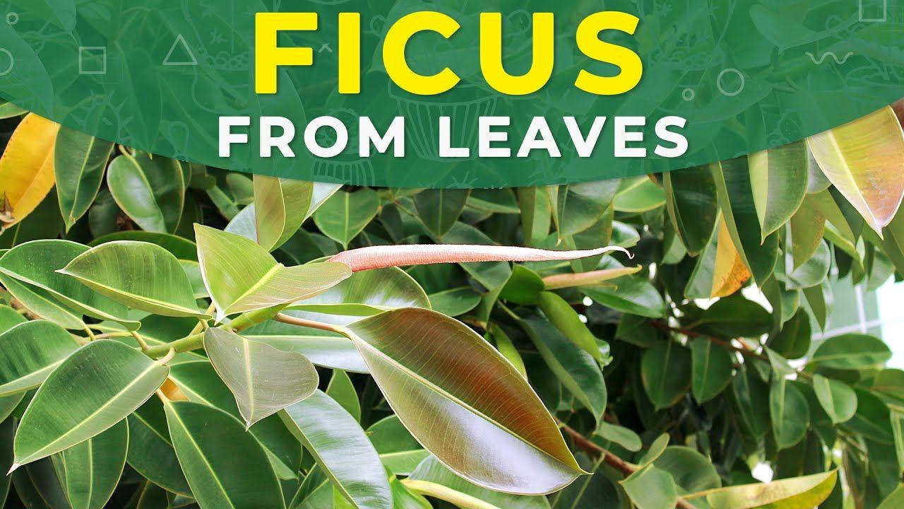 Come Riprodurre Il Ficus Benjamin ficus elastica propagation from leaves | plant rejuvenation