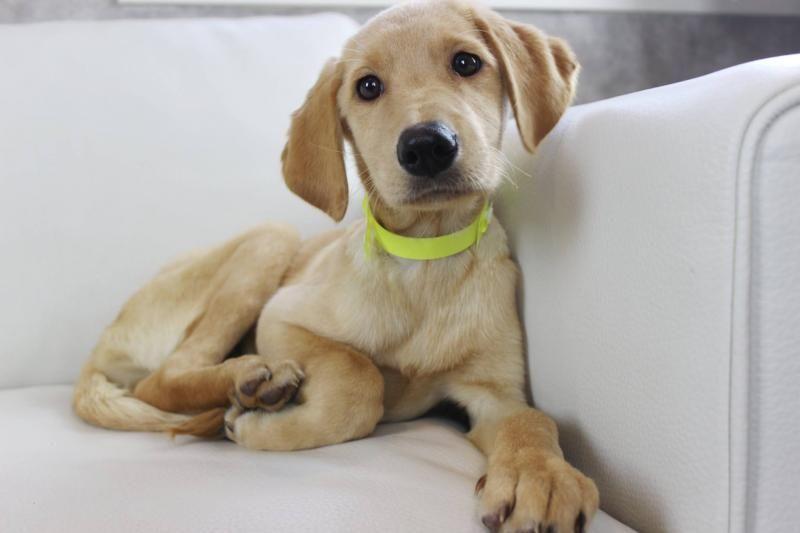 Adopt Gemini On Dog Adoption Labrador Retriever Retriever Dog