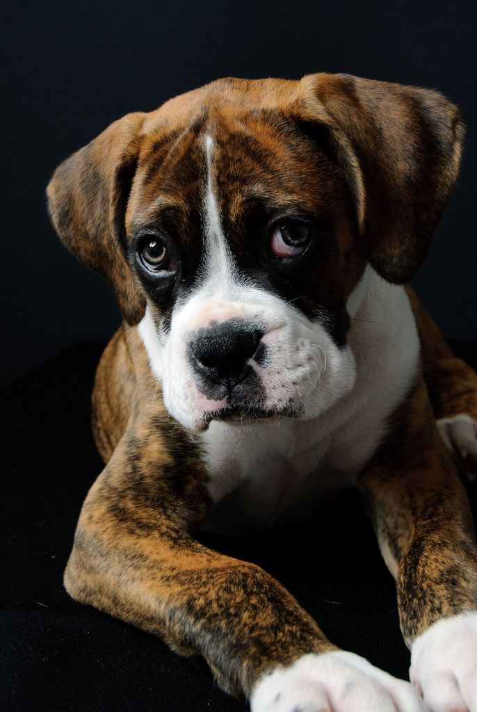 Boxer Pup Black background by Bookguy232 from