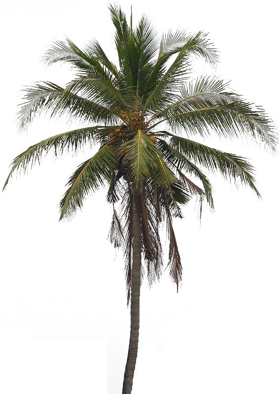 Coconut Tree Png Pic Tree Photoshop Coconut Tree Peacock Pictures