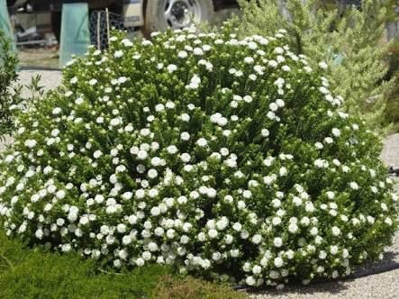 Image result for pimelea ferruginea for the home garden water image result for pimelea ferruginea thecheapjerseys Image collections