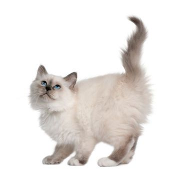 The cat's coat is often one of the most striking features of its appearance. The basis for a...