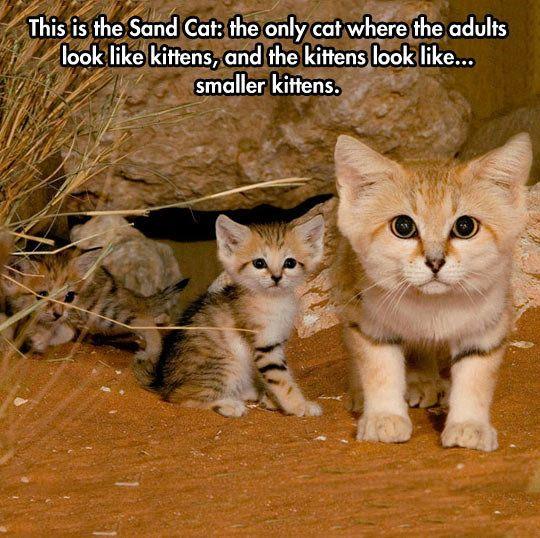 The Sand Cat Wild Cat Species Wild Cats Cute Animals