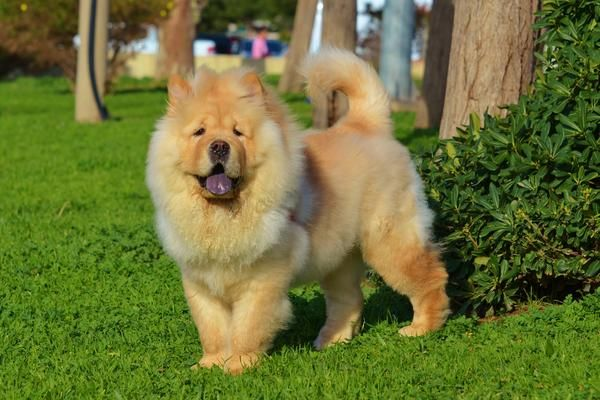Chow Chow Health History Appearance Temperament Maintenance
