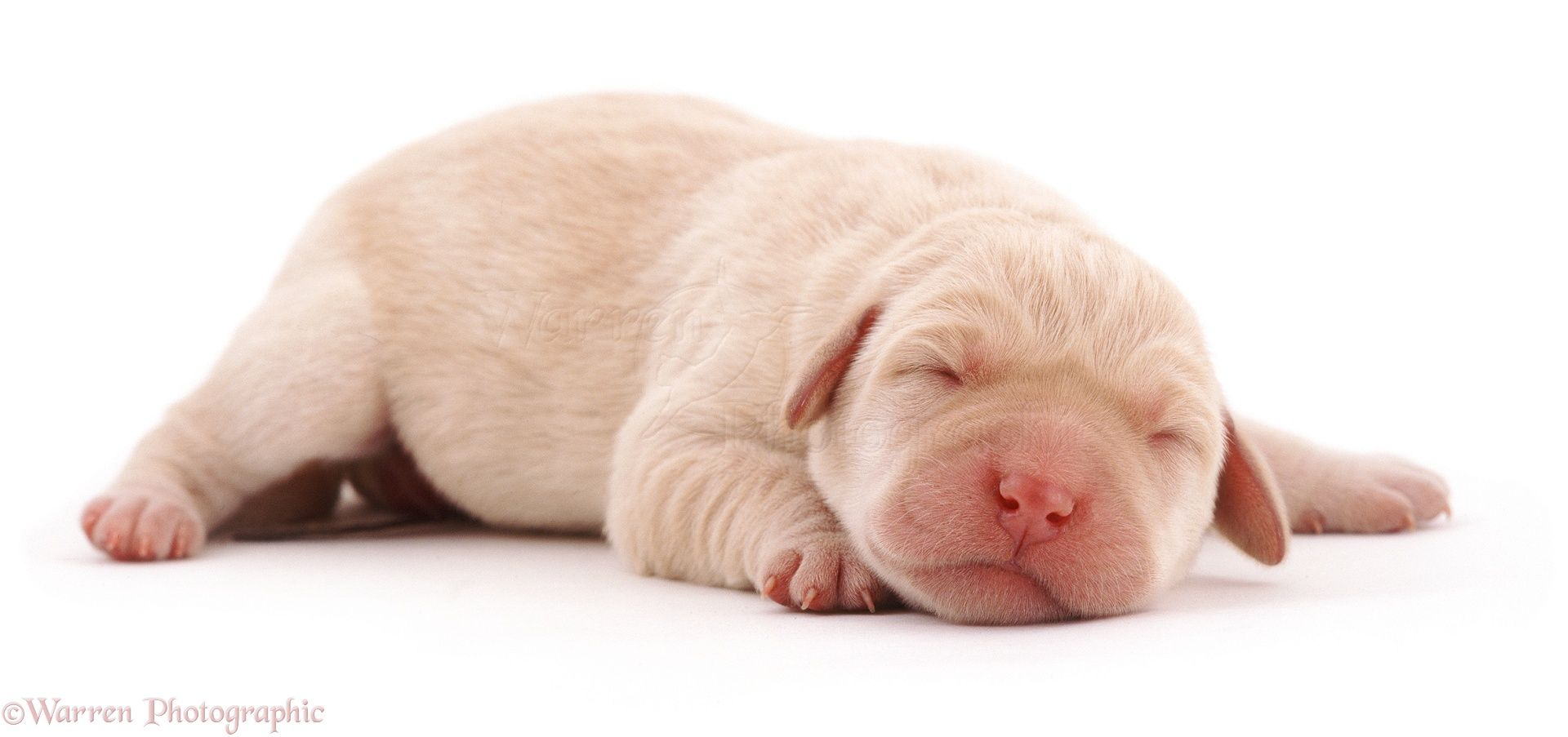 Dog Newborn Yellow Labrador Pup Photo Baby Labrador Puppy Dog Photos Sleeping Puppies
