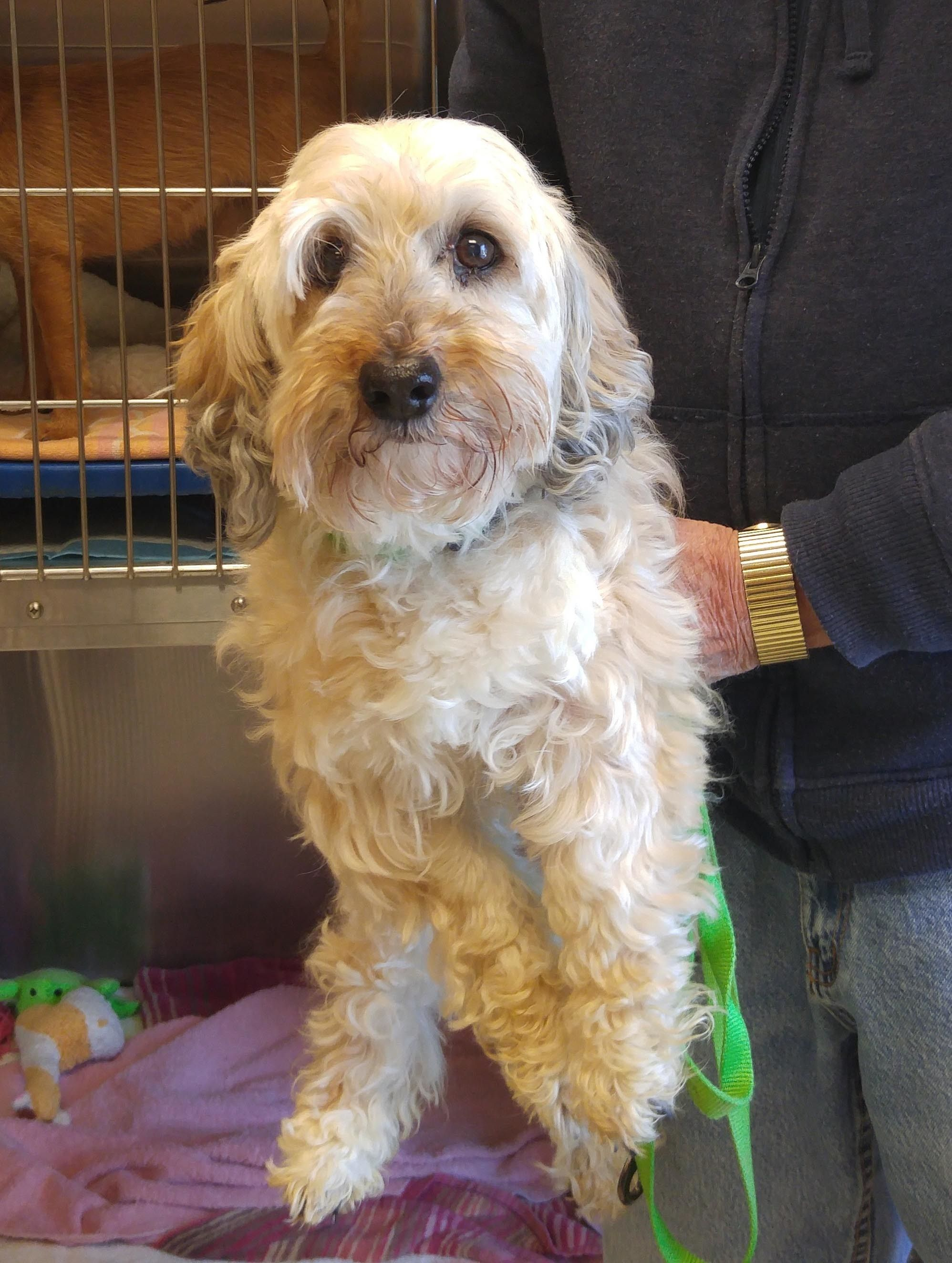 Adopt buddy on poodle poodle mix poodle grooming