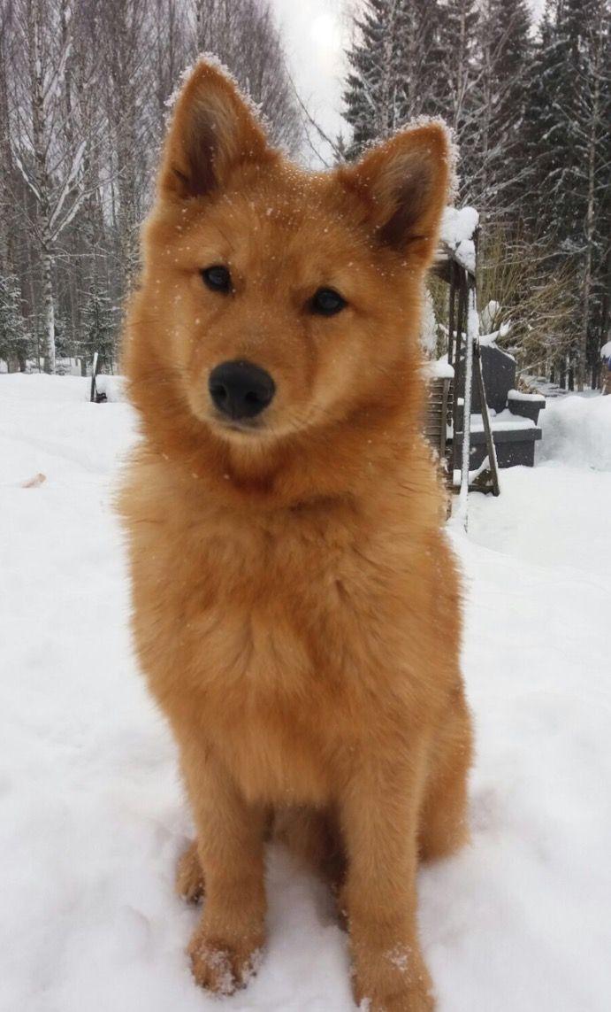 Finnish Spitz | PUPPIES | Pinterest | Dog, Animal and Doggies