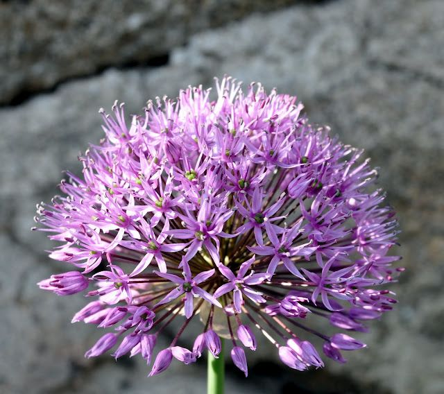 Allium caesium / Blauwe Ui