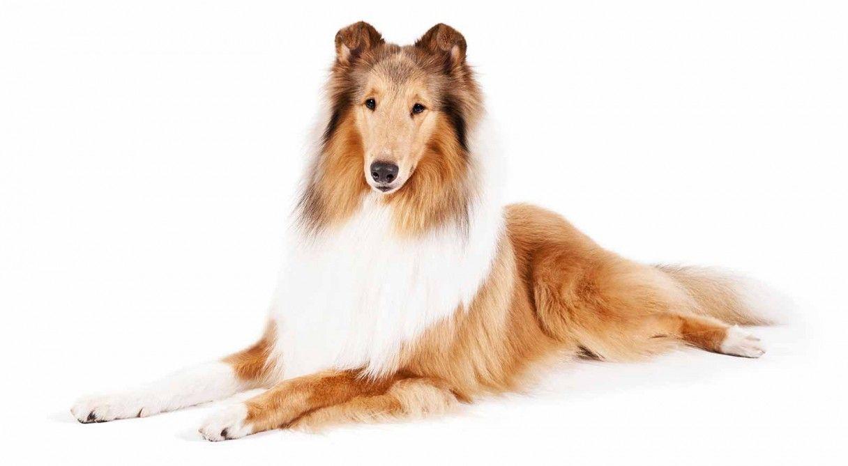 Collie Dog Breed Information Collie Dog Breeds Rough Collie