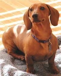 Adopt Tyler On Dachshund Weenie Dogs Dachshund Breed
