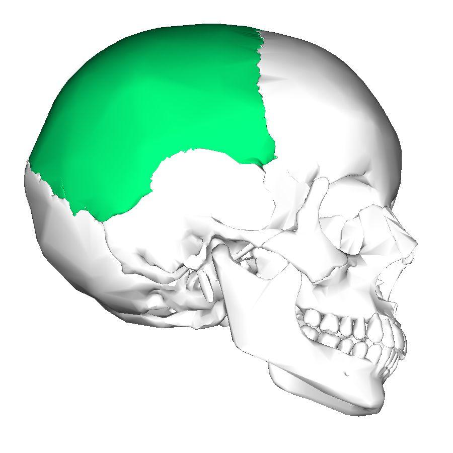 Parietal Bones 2 Bones Most Superior Lateral Aspects Of Skull