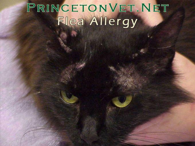 Flea Allergy Dog Allergies Fleas Cat Medicine