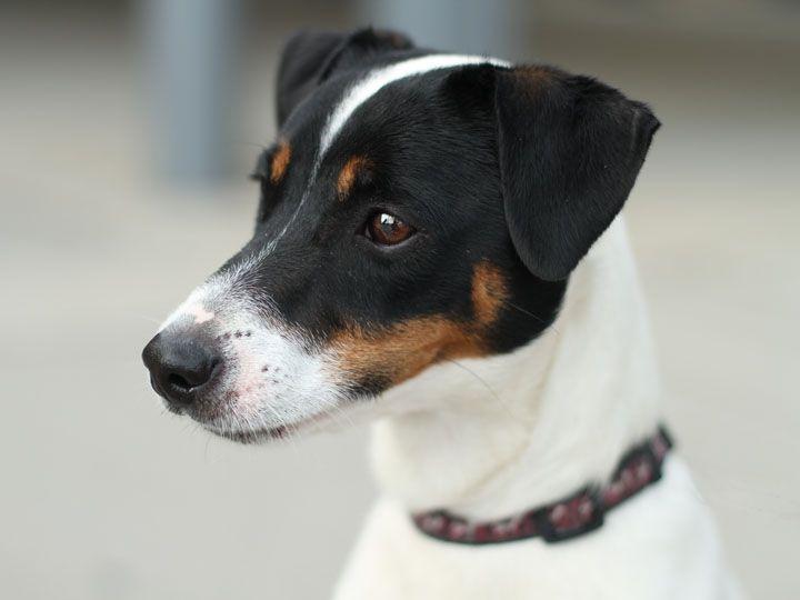 Brock Jack Russell Terrier Jack Russell Dogs Rat Terriers