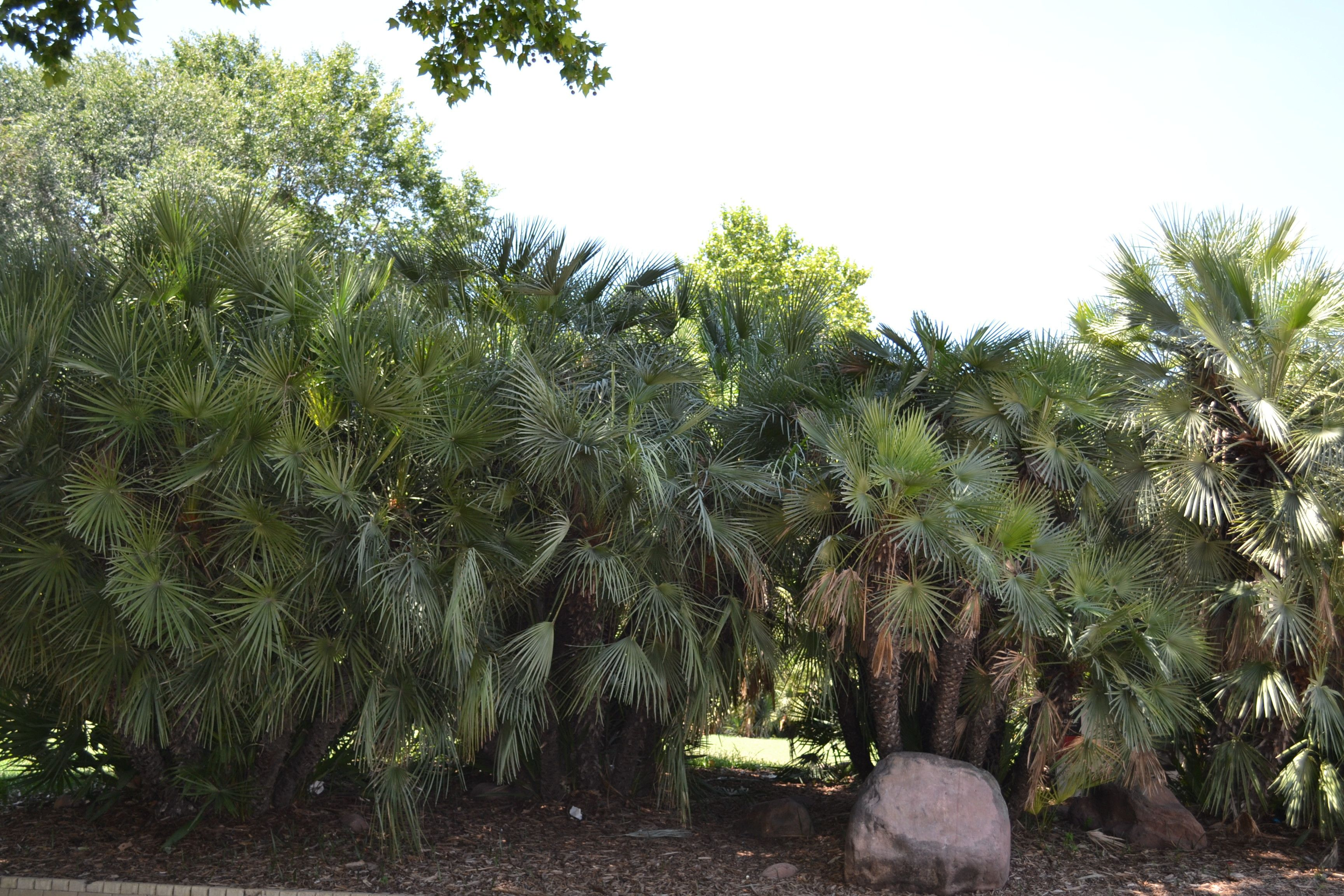 Palm trees in a park at madrid