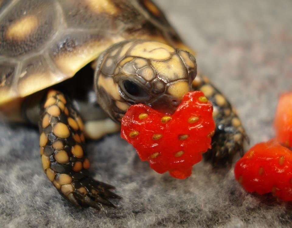 Tortoise eating strawberry heart.