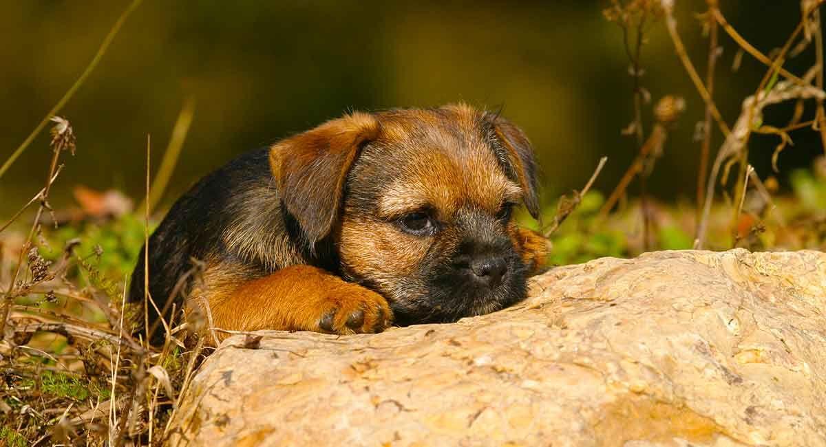 Norfolk Terrier Puppy Norfolk Terrier Puppies Norfolk Terrier Labrador Puppies Price