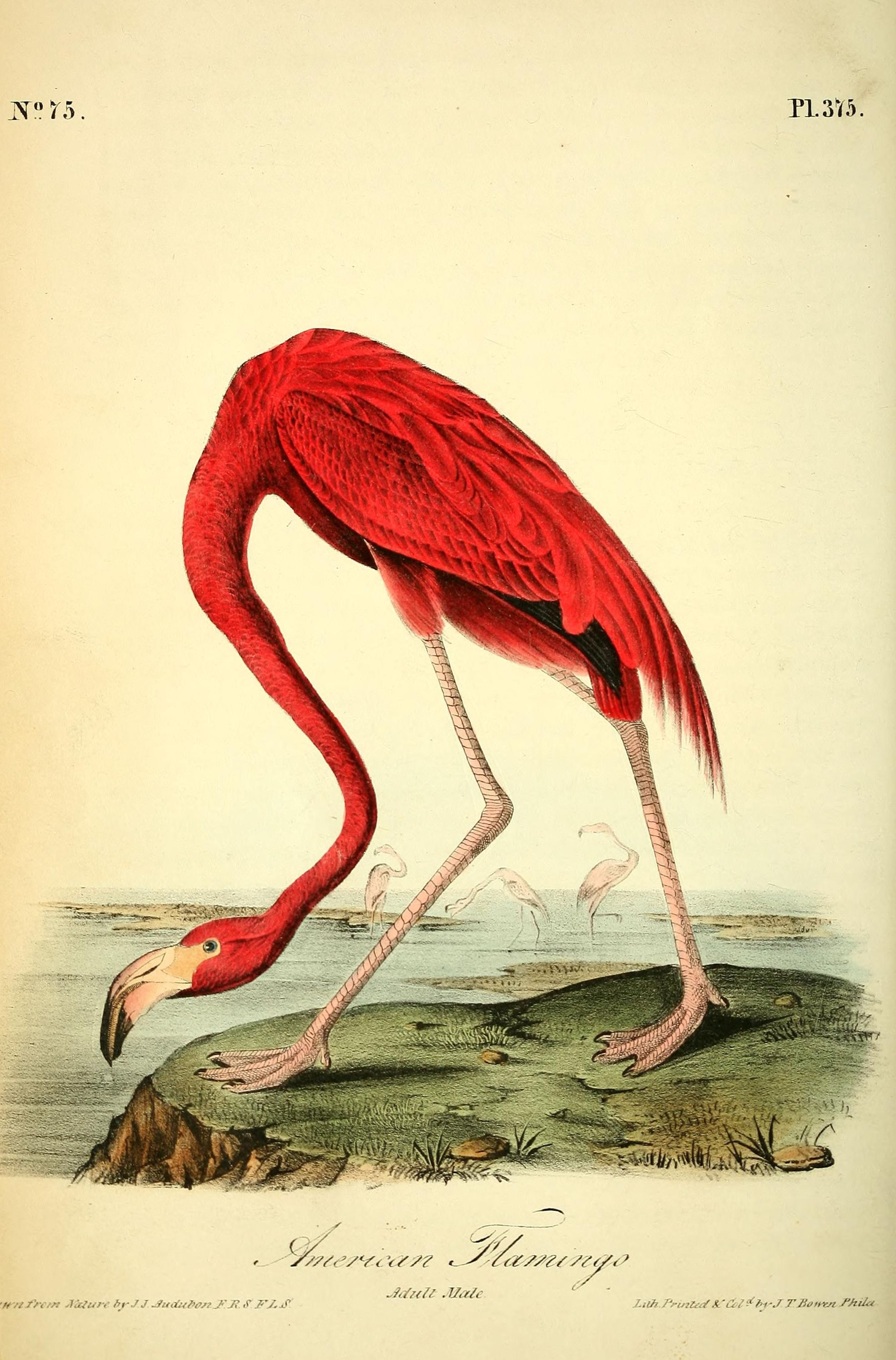 Flamingo by John James Audubon, just one of over 500 public domain ...