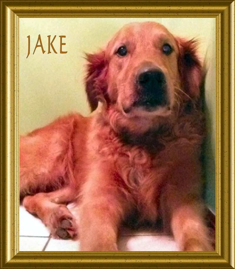 Adopt Jake Ii On Adoptable Pets Dogs Animals Dogs Golden