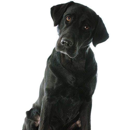 Thinking About A Diabetes Alert Dog What To Know Plus Four