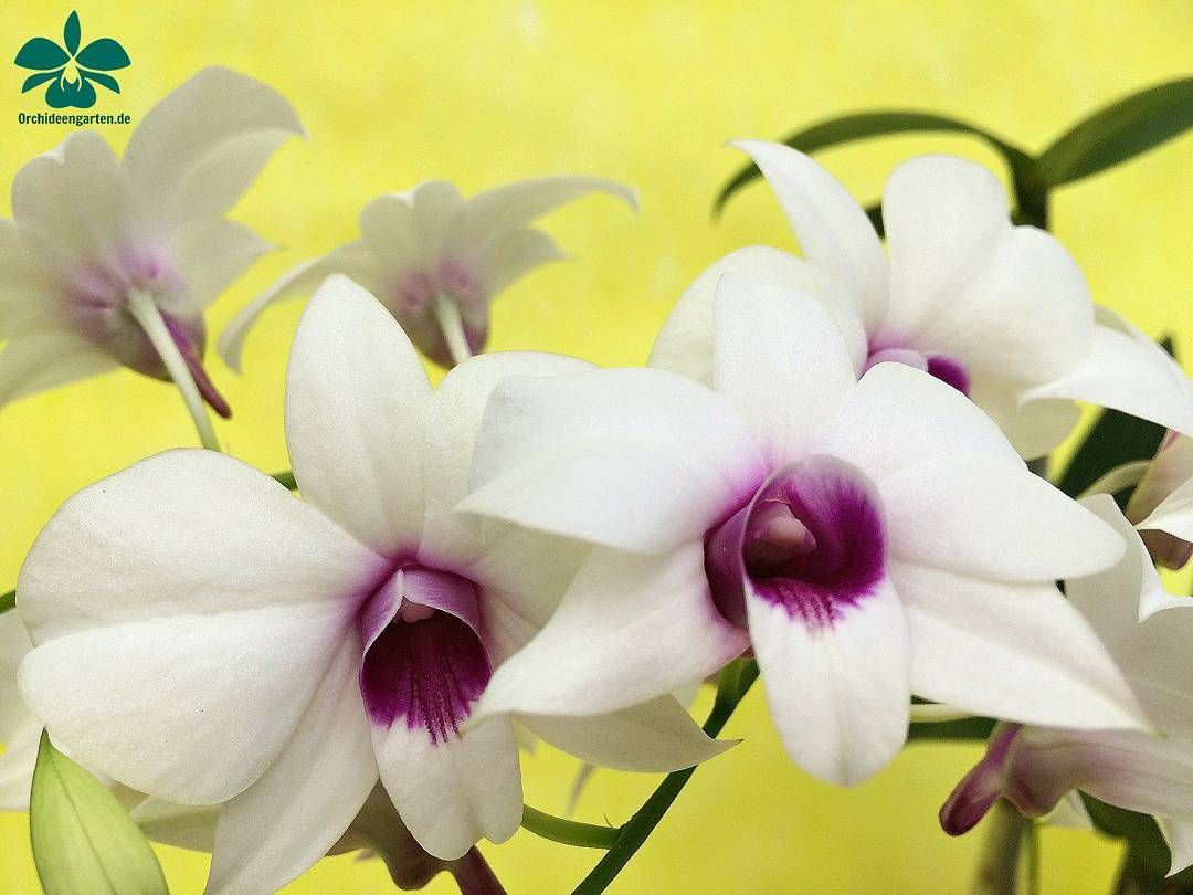 Dendrobium phalaenopsis weiss orchids orchidee orchideen