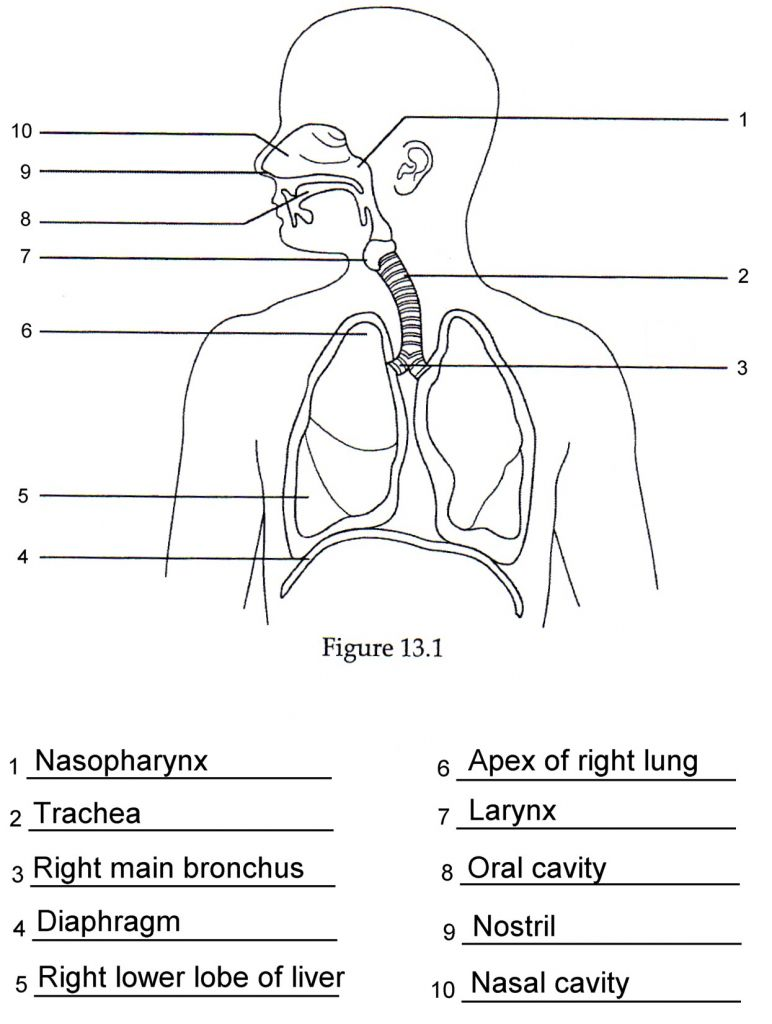 respiratory system diagrams to label human respiratory