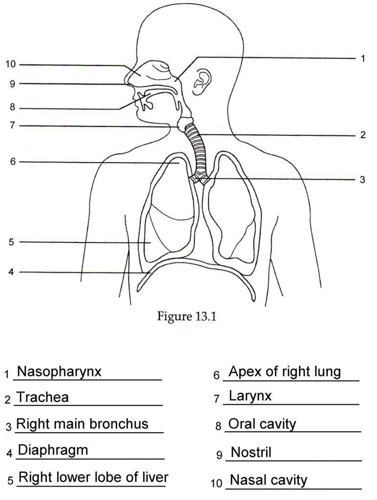 Respiratory System Diagrams To Label Human Respiratory