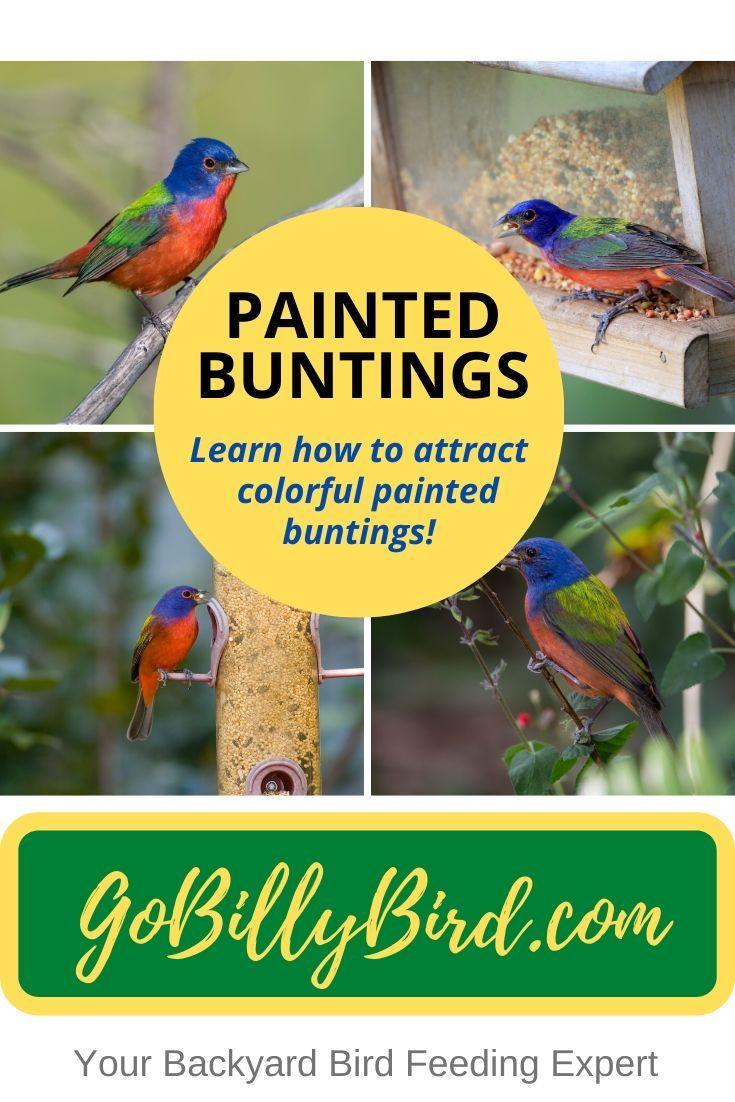 Painted Buntings | Painted bunting, Nature birds, Backyard ...