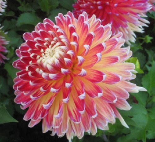Dahlia Akita Is A Dazzling Dinner Plate With Giant Pink Pom
