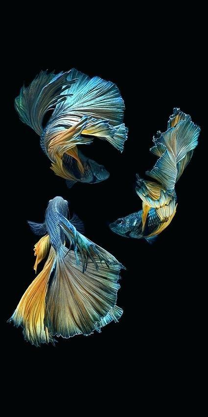 Angler Colorful Fish Real
